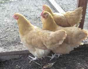Chicks  Fluffy Show Stock   Camarillo for sale in Ventura  California