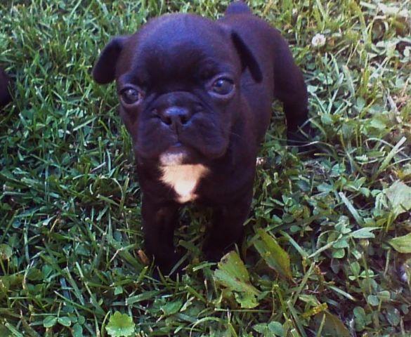 bugg puppies boston terrier pug for sale in urbana ohio