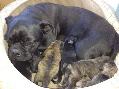 Bugg puppies Boston Terrier Pug mix Adorable for Sale in Yakima