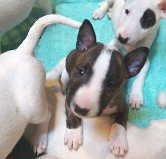 Bull Terrier Puppies For Sale In Staten Island New York Classified