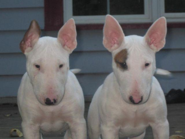 White Bull Terrier Puppies