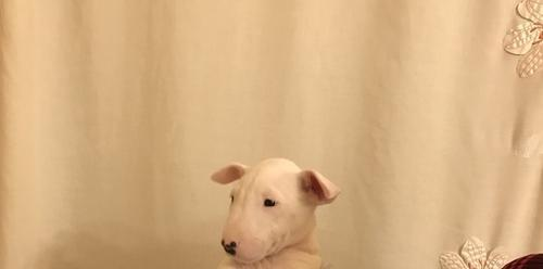 Bull Terrier Puppy For Sale Adoption Rescue For Sale In Staten