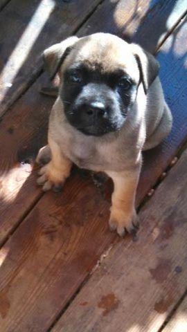 Bullmastiff Rottweiler Mix Puppies for Sale in Cumberland ...