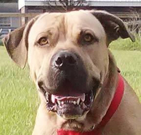 Bullmastiff - Stallone / Brooksville, Fl - Large -