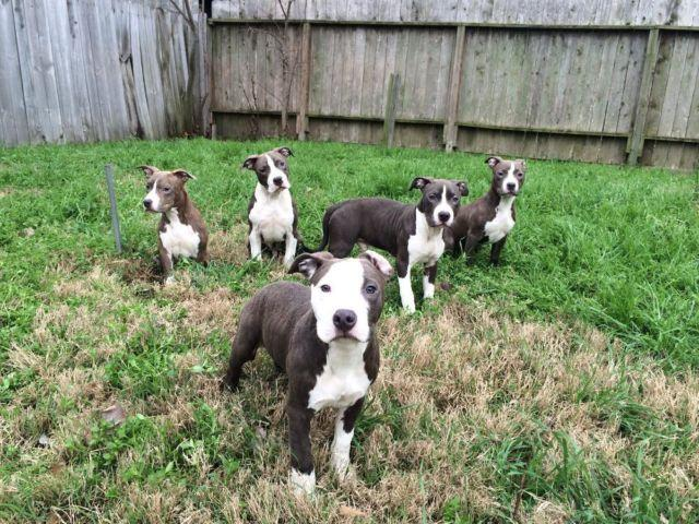 Pocket Bully For Sale In Houston Texas Classifieds Buy And Sell