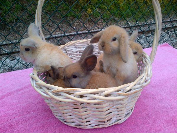 Bunnies - Holland Lops - $25 (Baldwin Borough)