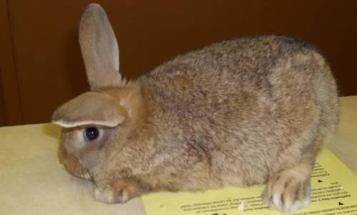 Bunny Rabbit - Mopsy - Medium - Adult - Female - Rabbit