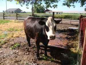 butcher steer for sale - $1 (sunnyside)
