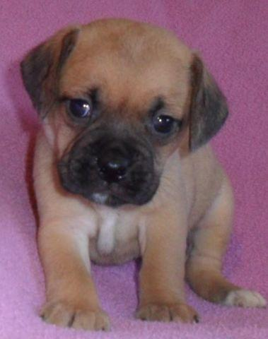 Buttercup, Female Puggle Puppy for sale in Ohio