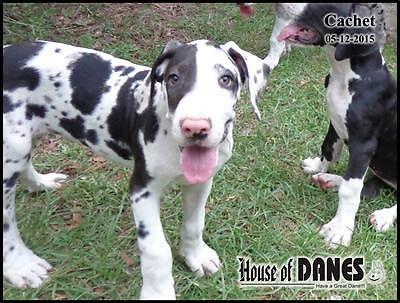 Cachet - Female Harlequin Great Dane puppy for Sale