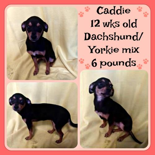 Caddie Yorkshire Terrier Yorkie Baby Adoption Rescue For Sale In