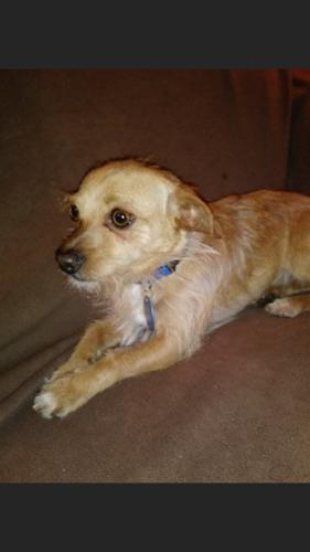 Cairn Terrier Mix Houdini