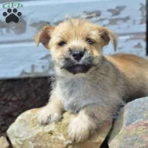 Cairn Terrier Purebred Puppies For Sale! for Sale in
