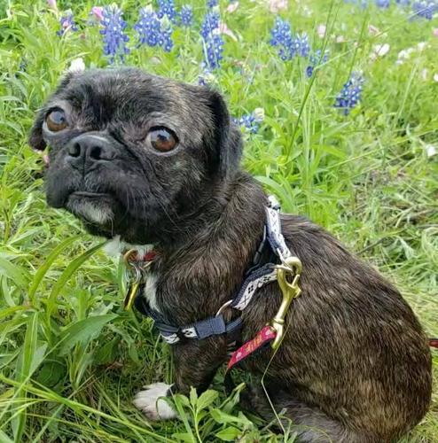Caitlyn Pug Young - Adoption, Rescue