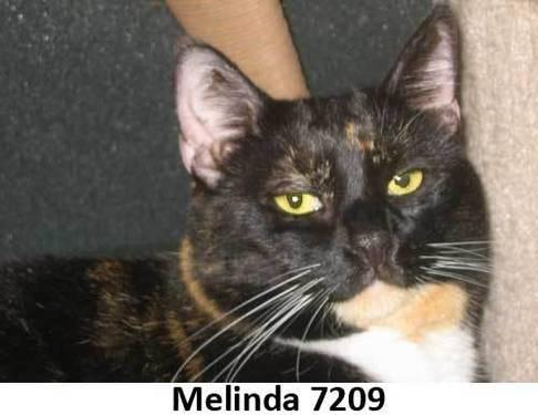 Calico - Bandi - Medium - Adult - Female - Cat