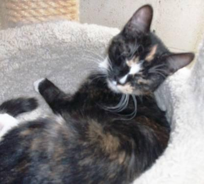 Calico - Callie - Small - Baby - Female - Cat