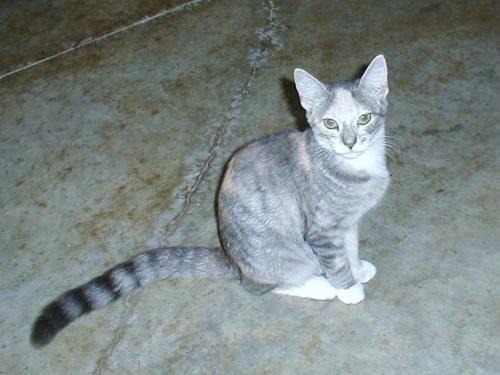 Calico - Cora - Medium - Young - Female - Cat