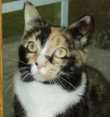 Calico Cat For Sale In Ohio