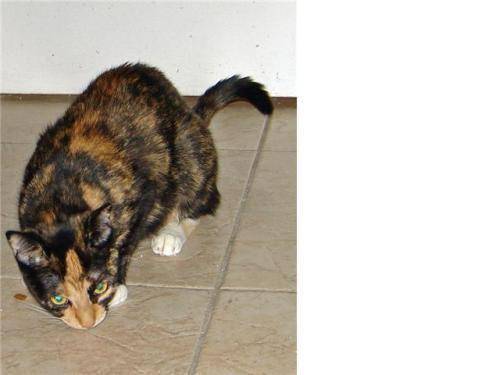 Calico - Fifi - Medium - Young - Female - Cat