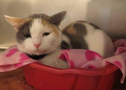 Calico - Grace - Large - Adult - Female - Cat