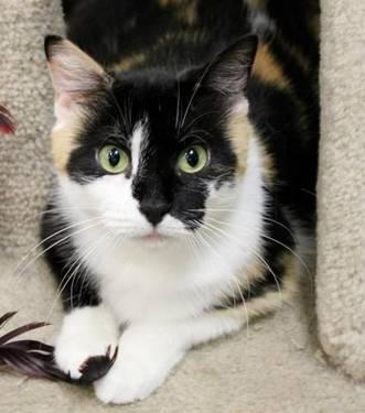 Calico - Irene - Medium - Adult - Female - Cat