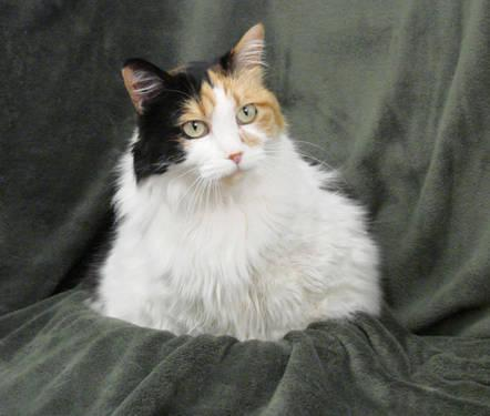 Calico - Juliette - Medium - Adult - Female - Cat