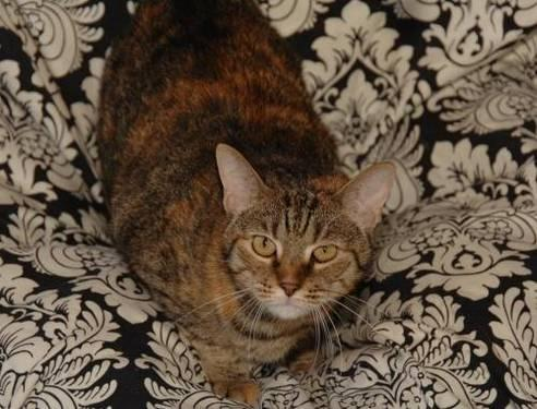 Calico - Katie - Medium - Adult - Female - Cat