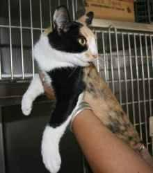 Calico - Kelly - Medium - Adult - Female - Cat