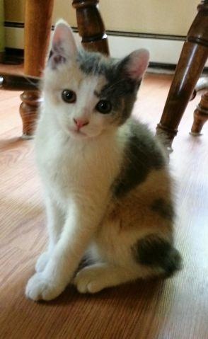 Calico Manx Kitten 12 Weeks Old For Sale In Monroe