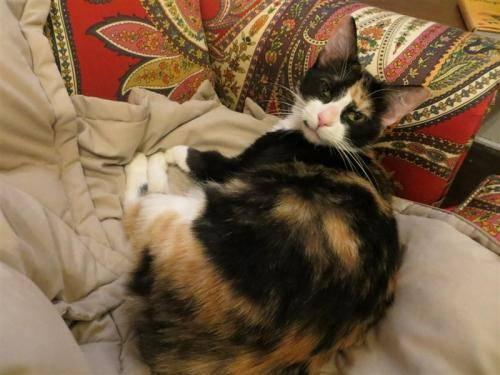 Calico - Rex - Medium - Adult - Female - Cat