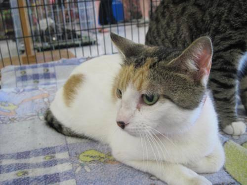Calico - Skittles - Small - Young - Female - Cat