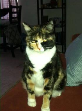 Calico - Tater & Doza - Small - Adult - Male - Cat