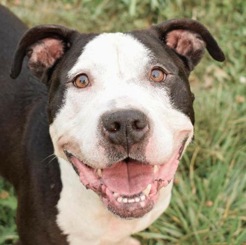 Callie Sweet Pit Bull Terrier