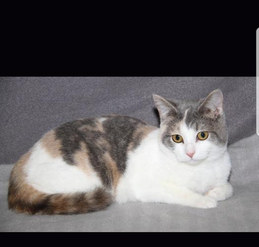 Camille Dilute Calico Baby - Adoption, Rescue