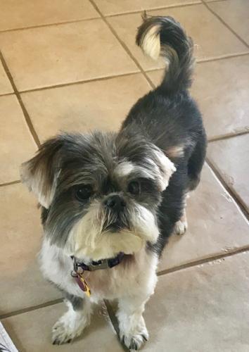 Camry Shih Tzu Senior Adoption Rescue For Sale In Plano Texas