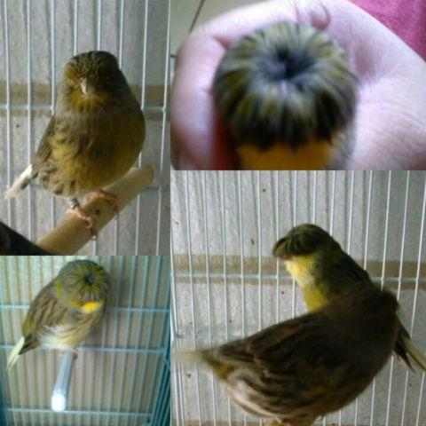 Canaries for sale (Borders, Gloster, Colorbred)
