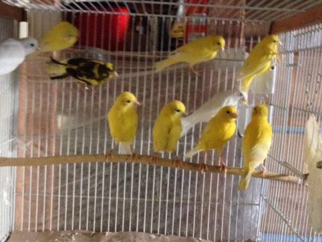 1bc047d893b8 pet canaries for sale in Washington Classifieds   Buy and Sell in  Washington - Americanlisted