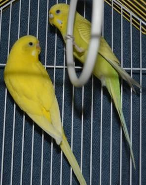 Canary - Canaries - Small - Adult - Bird