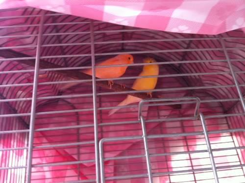 Orange Canaries For Sale Canary Colors Oranges And