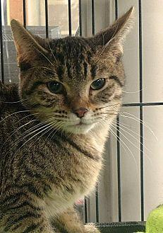 Candie Domestic Shorthair Young Female