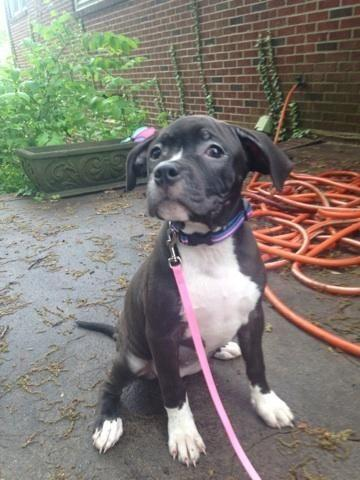 Cane Corso Italian Mastiff And Pit Bull Terrier Mixed Puppies For