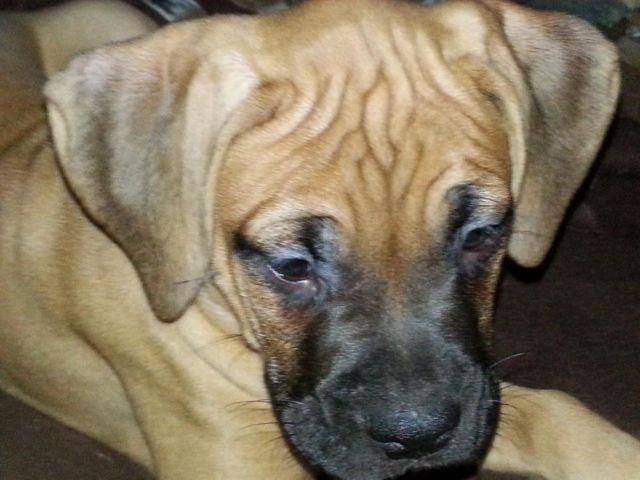 Cane Corso Italian Mastiff Boxer Mix