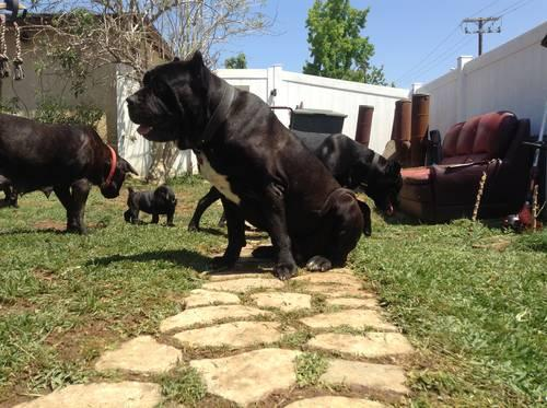 Cane Corso Italian Mastiff Puppies for Sale in Monterey Park ...
