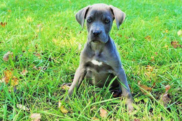 Pics Photos - Italian Mastiff Cane Corso Pups For Sale Pet Services ...