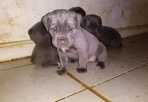 Cane Corso Italiano Puppy For Sale Adoption Rescue For Sale In