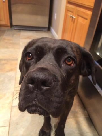 Cane Corso Mastiff For Sale For Sale In Memphis Tennessee Classified Americanlisted Com