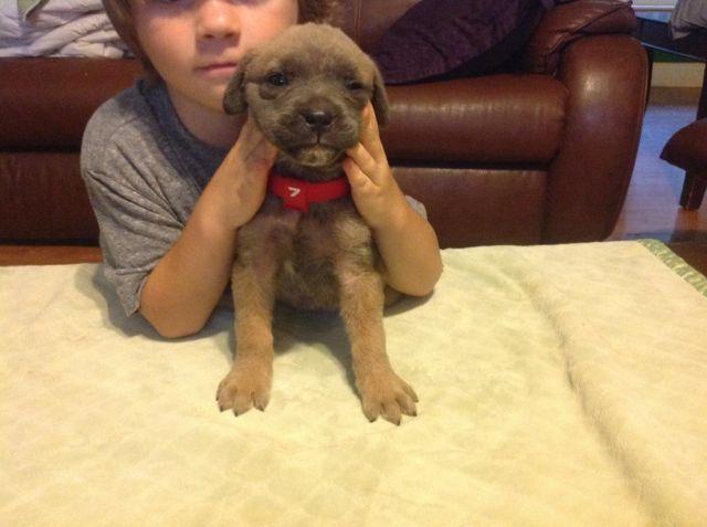Cane Corso Mastiff Puppy #7