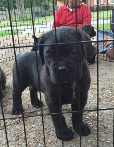 Cane Corso Puppies For Sale In Memphis Tennessee Classified Americanlisted Com