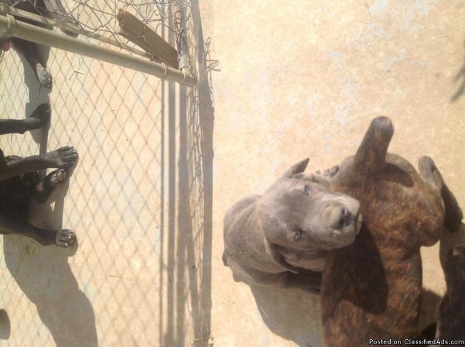 Cane Corso puppies for Sale in Hamilton, Ohio Classified ...