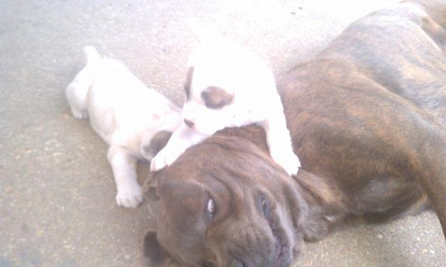 Pin Hoobly Beautiful Cane Corso Italian Mastiff Puppies Ch Bloodlines ...